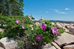 wonderland-trail-roses