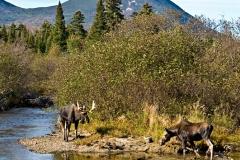 baxter-moose-02